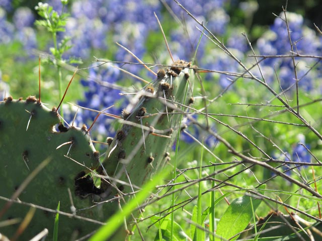 Cactus, Bluebonnets and Prickly Things